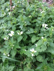 plants-deadnettle