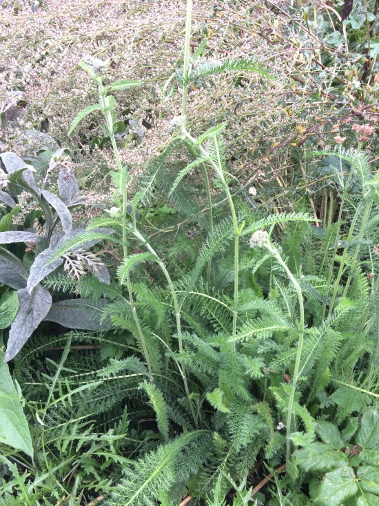 plants-yarrow